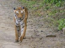 Tigerss in wild Stock Photo