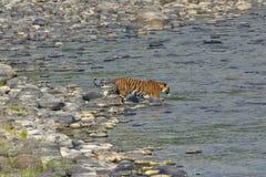 Tigerss in wildernis stock afbeeldingen