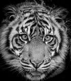 Tigerstående royaltyfria bilder
