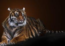 Tigerstående Arkivfoton