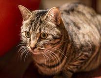 Tigerstrimmig kattkatt Fotografering för Bildbyråer