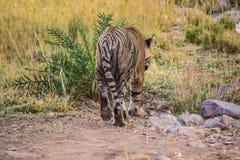 Tigersultan in wildem lizenzfreies stockbild