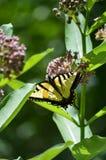 Tigersvansfjäril royaltyfri foto