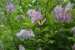 Tigersvansfjäril på lilor arkivbilder
