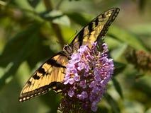 TigerSwallowtail fjäril Royaltyfria Bilder