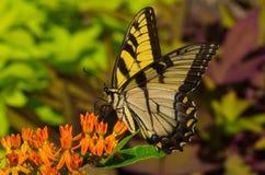 TigerSwallowtail fjäril Arkivfoto