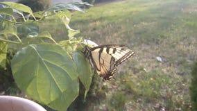 TigerSwallowtail fjäril Fotografering för Bildbyråer