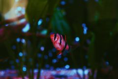 Tigertagg i ett mörkt och lynnigt akvarium arkivbilder