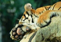 Tigertatze Stockfotografie