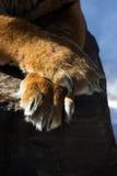 Tigertatzen lizenzfreies stockbild