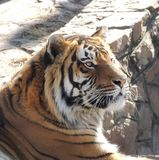 Tigertiger Lizenzfreie Stockfotos