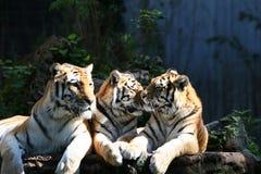 tigertrio arkivbilder