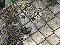 Tigerunschuldig Lizenzfreie Stockbilder