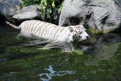 Tigervadande i ström Royaltyfri Fotografi
