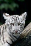 tigerwhite Arkivbild