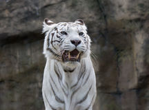 tigerwhite Royaltyfri Foto