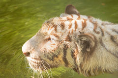 tigerwhite Arkivfoton