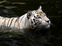 tigerwhite Royaltyfri Bild