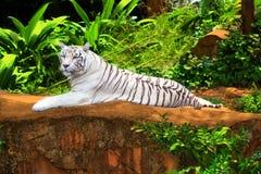 tigerwhite Royaltyfri Fotografi