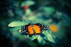 Tigerwing蝴蝶 免版税图库摄影