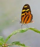 Tigerwing蝴蝶 免版税库存照片
