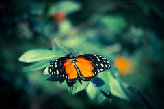 Tigerwing Butterfly. On green foliage royalty free stock photography