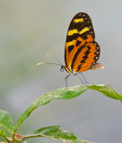 Tigerwing Butterfly Royalty Free Stock Photos