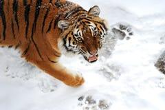 Tigerwinter Lizenzfreies Stockfoto