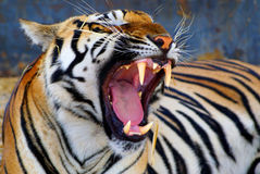 Tigerzähne stockfotos