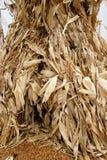 Tiges 5735 de maïs Photo stock
