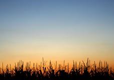 Tiges au coucher du soleil photographie stock libre de droits