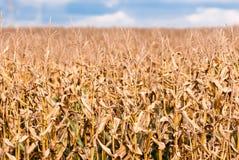 Tiges brunes sèches de maïs sur le champ brouillé Images libres de droits