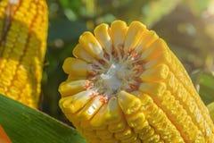 Tiges cassées et épaisses de maïs mûr dans le domaine avant la moisson 20 rangées des grains image stock