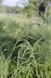 Tiges croisées d'herbe verte contre un champ vert Baisses de l'eau photo libre de droits