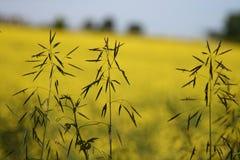 tiges d'herbe dans des domaines de canola Photo stock