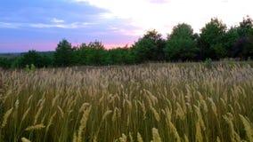 Tiges d'herbe verte balançant dans le vent banque de vidéos