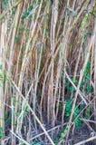 Tiges de bambou de marécage Images stock