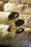 Tiges de champignon de couche Image stock