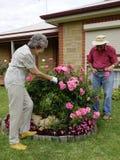 Tiges de coupe des roses Image stock