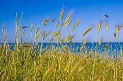 Tiges de jeune blé Photographie stock libre de droits
