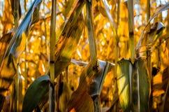 Tiges de maïs photographie stock libre de droits
