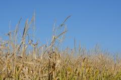 Tiges de maïs d'automne Photographie stock libre de droits