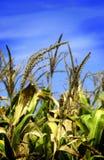 Tiges de maïs dans le domaine Photo stock
