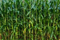 Tiges de maïs vert photographie stock libre de droits
