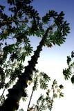 Tiges des cultures de manioc Photos libres de droits