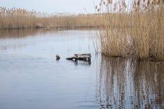 Tiges des roseaux au-dessus de l'eau Herbe tubulaire d'or au printemps au soleil pr?s de l'eau photos stock