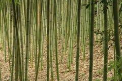 Tiges en bambou d'usines de tige d'herbe s'élevant en parc de la Californie image stock