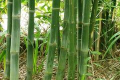 Tiges en bambou vertes dans la forêt en bambou Photos stock