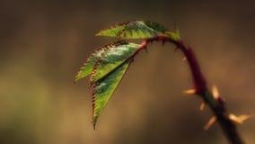 Tiges et feuilles d'une rose Image stock