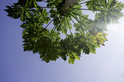 Tiges et feuilles de papaye Images stock